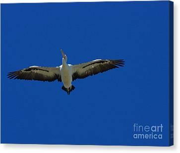 Flight Of The Pelican Canvas Print by Blair Stuart