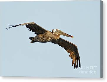 Canvas Print - Flight Of The Pelican by Natural Focal Point Photography