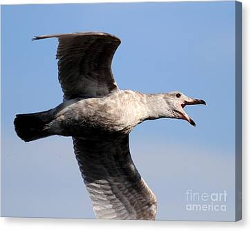 Flight Of The Screaming Gull . 7d4932 Canvas Print by Wingsdomain Art and Photography