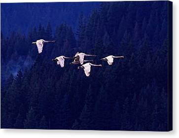 Swan Canvas Print - Flight Of The Swans by Sharon Talson
