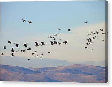 Flight Of The Waterfowl Canvas Print by Mike  Dawson