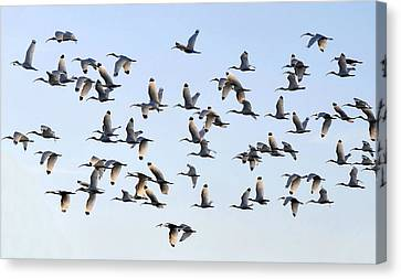 Flight Of The White Ibis Canvas Print by David Lee Thompson