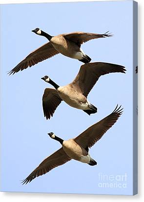 Flight Of Three Geese Canvas Print by Wingsdomain Art and Photography