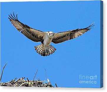 Canvas Print featuring the photograph Flight Practice Over The Nest by Debbie Stahre