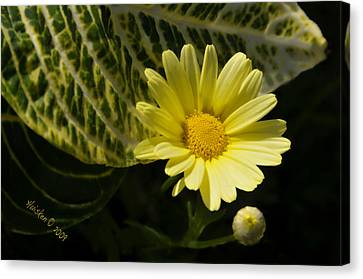 Floating Daisy Canvas Print by Lyle  Huisken