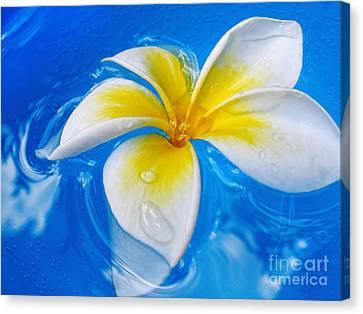 Floating Frangipani - Plumeria Alba Canvas Print by Kaye Menner