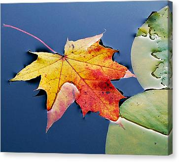 Floating Maple Leaf Canvas Print