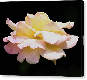 Floating Rose 3894 Canvas Print