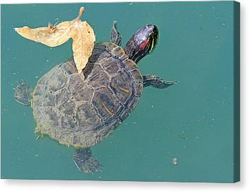 Floating Turtle Canvas Print by Shoal Hollingsworth