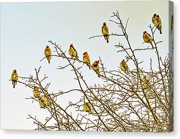 Flock Of Cedar Waxwings  Canvas Print by Geraldine Scull