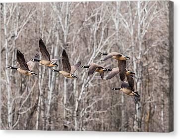 Flock Of Geese Canvas Print by Paul Freidlund