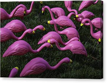 Flock Of  Plastic Flamingos Canvas Print by Garry Gay