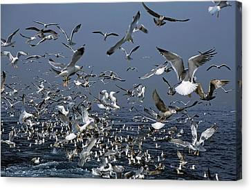 Flying Seagull Canvas Print - Flock Of Seagulls In The Sea And In Flight by Sami Sarkis