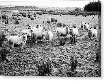 Flock Of Sheep In A Field Ballymena, County Antrim, Northern Ireland, Uk Canvas Print by Joe Fox