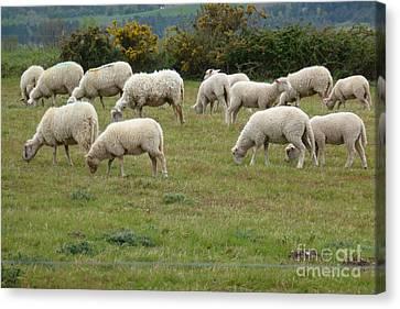 Flock Of Sheeps Canvas Print by Jean Bernard Roussilhe