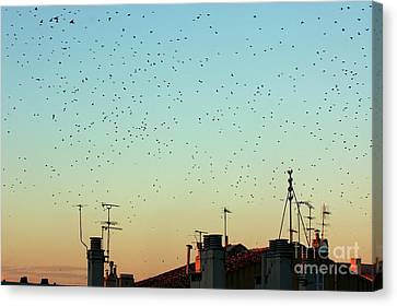 Flock Of Swallows Flying Over Rooftops At Sunset During Fall Canvas Print by Sami Sarkis