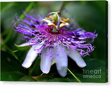 Flora Passiflora Canvas Print by Willow Perkinson