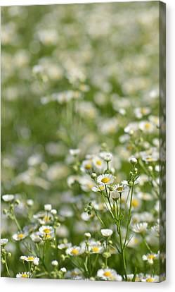 Floral Field #1 Canvas Print