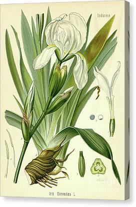 Florentine Iris  Canvas Print by German School
