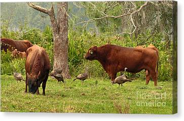 Florida Cracker Cows And Osceola Turkeys #2 Canvas Print by Teresa A and Preston S Cole Photography