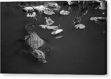 Canvas Print featuring the photograph Florida Gator by Jason Moynihan