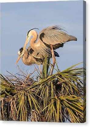 Florida Great Blue Herons Nesting Four Canvas Print by Bill Swindaman