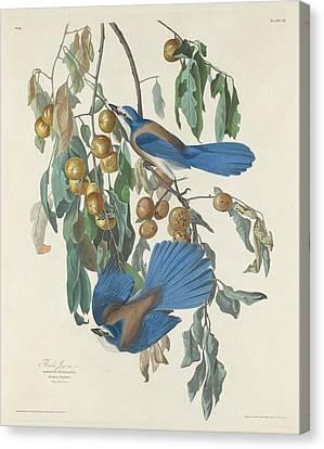 Audubon Canvas Print - Florida Jays by Dreyer Wildlife Print Collections