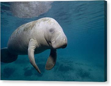 Florida Manatee In The Crystal River Area Canvas Print