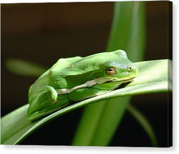 Florida Tree Frog Canvas Print by Ned Stacey