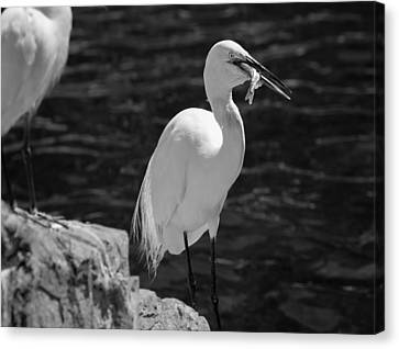 Canvas Print featuring the photograph Florida White Egret by Jason Moynihan