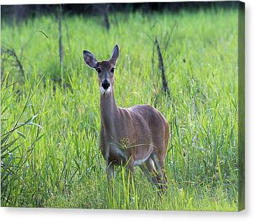 Florida Whitetail Deer  Canvas Print