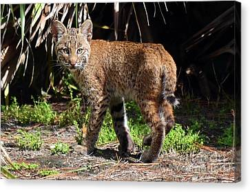 Baby Bobcat Canvas Print - Follow Me  by Davids Digits