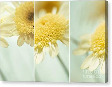 Flower Arrangement - Marguerite Daisies Canvas Print