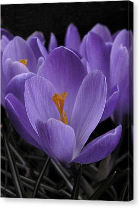 Canvas Print featuring the photograph Flower Crocus by Nancy Griswold