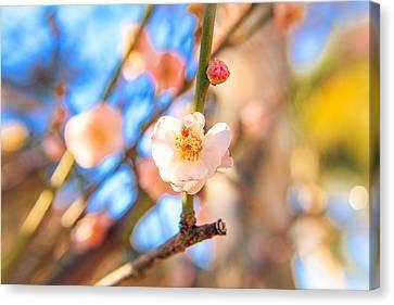 Flower Of Plum Canvas Print