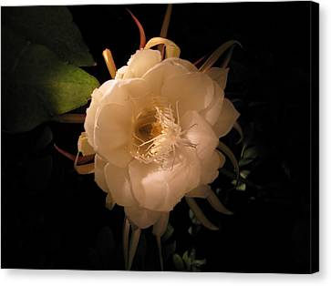 Flower Of The Night 01 Canvas Print by Andrea Jean