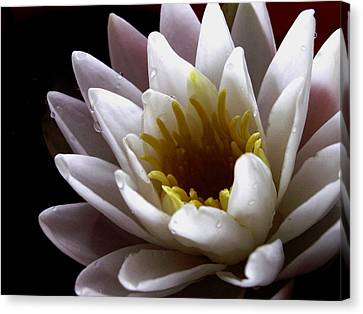 Canvas Print featuring the photograph Flower Waterlily by Nancy Griswold