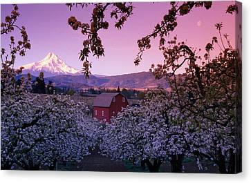 Flowering Apple Trees, Distant Barn Canvas Print