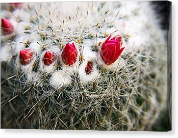 Flowering Cactus Canvas Print by Marcus Adkins