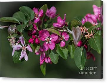 Flowering Crabapple Canvas Print
