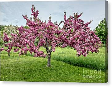 Flowering Crabtree Canvas Print by Edward Fielding