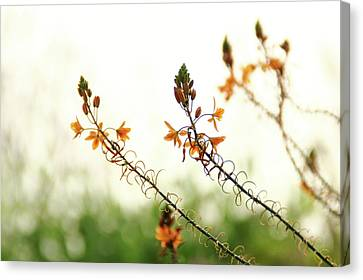 Canvas Print featuring the photograph Flowering In Israel At The Sunset by Yoel Koskas
