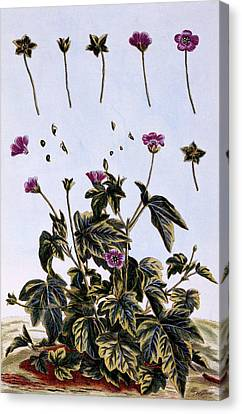Flowering Maple Or Indian Mallow Canvas Print