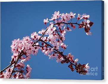 Flowering Of The Plum Tree 4 Canvas Print by Jean Bernard Roussilhe