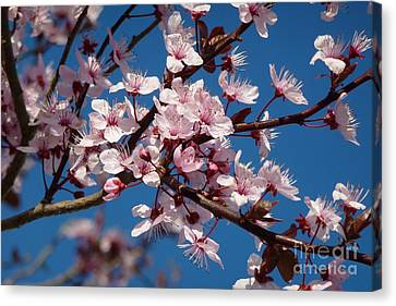 Flowering Of The Plum Tree 5 Canvas Print by Jean Bernard Roussilhe