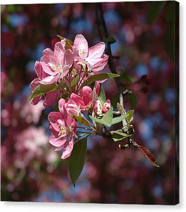 Flowering Pink Dogwood Canvas Print by Frank Mari