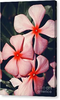 Flowering Pink Periwinkle Canvas Print