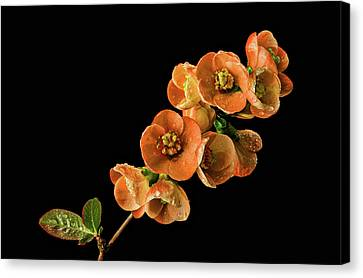 Canvas Print featuring the photograph Flowering Quince Orange by Mary Jo Allen