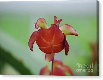 Flowering Red Adam's Pitcher Plant Canvas Print by DejaVu Designs