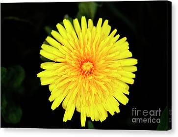 Flowering Weed Canvas Print by David  Hollingworth